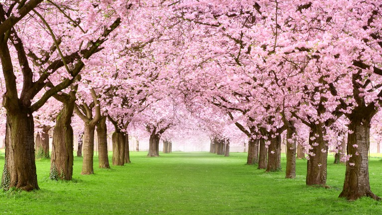 Cherry Blossom in Japan|Best Budget international family tour packages|Book family Holiday Tour Packages