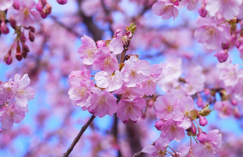 Cherry Blossom In Japan Tour Packages Book Honeymoon Family Adventure Tour Packages To Cherry Blossom In Japan Travel Knits
