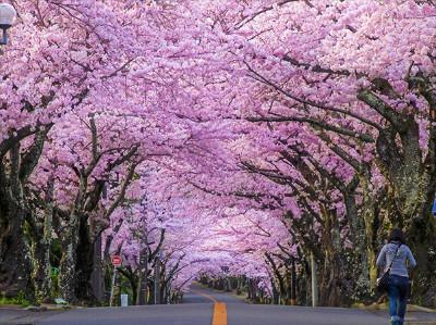 Cherry blossom in japan Tour Packages - Book honeymoon ,family,adventure tour packages to Cherry blossom in japan  Travel Knits